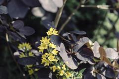 Contrast (calmingechoes) Tags: outdoors sweden nikon d7000 samyang 85 mm flowers