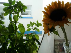 Two people have given me nice things! (b∞giebabe) Tags: flowers sunflowers plant basil green yellow