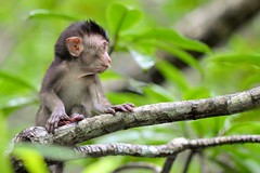 DSC_6776 (Phytophot) Tags: nature langkawi mother baby monkey