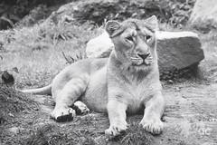 IMG_4148_DxO (QConnan-Photos) Tags: zooparcdetrégomeur zoo lion nature bretagne félin