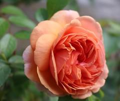 Rose (LuckyMeyer) Tags: rose blume blüte fleur flower makro apricot david austin sommer garten