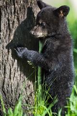 Black Bear Cub Tries to Catch its Shadow (Glatz Nature Photography) Tags: babyanimal bearcub blackbear curious cute forest glatznaturephotography greatlakes minnesota nature nikond5 northamerica northwoods northernminnesota shadow ursusamericanus vinceshutewildlifesanctuary wildanimal wildlife
