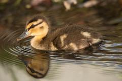 Mallard Duckling (NicoleW0000) Tags: duckling mallard water reflection