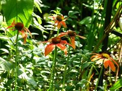 2017 Germany // Unser Garten - Our garden // im Juli // Echinacea (maerzbecher-Deutschland zu Fuss) Tags: 2017 garten natur deutschland germany maerzbecher garden unsergarten juli echinacea