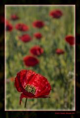 Roselles 39 (Papaver rhoeas) Poppies (La Vall dels Alforins. la Vall d'Albaida, València, Spain) (Rafel Ferrandis) Tags: rosella flor macro alforins primavera eos70d ef100mmlmacro