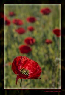 Roselles 39 (Papaver rhoeas) Poppies (La Vall dels Alforins. la Vall d'Albaida, València, Spain)
