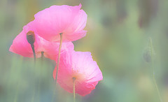 """Every flower is a soul blossoming in nature."" - Gerard De Nerval (genevieve van doren) Tags: popies coquelicots soft douceur flower fleur"