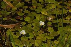 Froschbiss (Hydrocharis morsus-ranae); Meggerdorf, Stapelholm (1) (Chironius) Tags: meggerdorf stapelholm schleswigholstein deutschland germany allemagne alemania germania германия niemcy moor sumpf marsh peat bog sump bottoms swamp pantano turbera marais tourbière marécageuse blüte blossom flower fleur flor fiore blüten цветок цветение alismatales froschlöffelartige weis froschbissgewächse hydrocharitaceae froschbiss hydrocharis