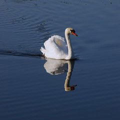Swan's theorem (jopperbok) Tags: jopperbok 7dos 7daysofshooting week2 birds geometrysunday geometry geometrical swan bird waterbirds water white animal nature outdoor algebra vector serre theorem maths mathematical ktheory topology science animals square beemsterhoek netherlands blue reflection