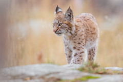 Irja (CecilieSonstebyPhotography) Tags: grass catfamily portrait cute høst leaf cat canon 4monthsold animal norway markiii gaupe langedrag 4months straws cub bokeh october eurasianlynx lynx closeup irja leaves rock lynxcub lynxkitten eyes autumn adorable animals eartufs fall ears canon5dmarkiii specanimal specanimalphotooftheday