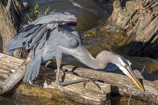 IMG_3891 Great Blue Heron hard at work