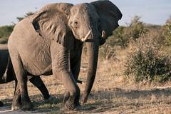 The leading elephant (knipslog.de) Tags: leader elephant afternoon botswana botsuana safari adventure wildlife wild animals selfdrivesafari
