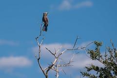 Lilac breasted roller (knipslog.de) Tags: lilacbreastedroller birds catching botswana botsuana safari adventure wildlife wild animals selfdrivesafari