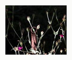 Terrain vague (hélène chantemerle) Tags: fleurs tuyau rouille rose noir soleil été lumière flowers pipe rustiness pink black sun summer light