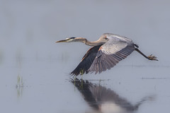 Great blue heron (Peter Stahl Photography) Tags: gbh greatblueheron murraymarsh wildlife avian bird alberta heron