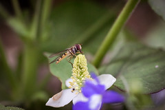 Sony a7 50mm (Jasrmcf) Tags: ilce7 sel50f18f sony sonya7 sonyalpha sonylens macro macrotube dof smooth blur bokeh bokehlicious bokehgraph nature ngc garden fly tigerfly insect flowers flower greatphotographers colourartaward colourful 50mm dreamy vintage