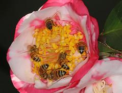 Pollen party (Jenny Thynne) Tags: pollen camellia brisbane queensland australia honeybee bee hymenoptera pollinator apismellifera