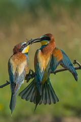 European Bee-eater (Merops apiaste) - żołna zwyczajna (tomaszberlin) Tags: bird european beeeater merops apiaster – żołna zwyczjna colorful wildlife nature bulgaria nikon d500 bokeh