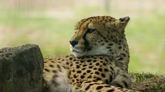 Guépard repos (melusine42) Tags: felin guépard rapide vitesse sauvage afrique savane croc griffe