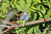Ljungblåvinge 'Plebejus argus' (På upptäcktsfärd i naturen) Tags: blåberga juli fjäril butterfly ljungblåvinge plebejusargus plebejus äktadagfjärilar papilionoidea juvelvingar lycaenidae polyommatinae polyommatini blåvingar