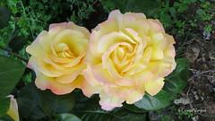 🌹🌹 (✿ Graça Vargas ✿) Tags: flower graçavargas ©2017graçavargasallrightsreserved rose rosa corfu greece