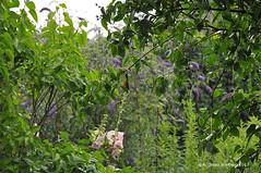 Regen auf Parzelle 2017.07.16 (bremen fotoconnection) Tags: regen rain garten garden blüte flower nikond300 andreaswiethop