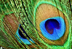 The eyes have it! (Trayc99) Tags: macro macromondays peacock feather bright texture colourful nature closeup eyes abstract