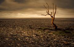 Barren Places (Swirly_Magnolia) Tags: swirly magnolia nikon composite sunderland point dead tree land golden hour red orange brown rocks light gloom barren dessert sky sunset sun set landscape wide angle lens tamron