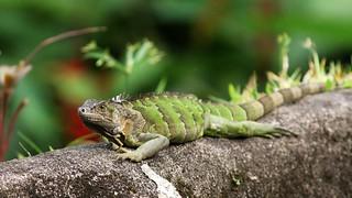 Costa Rica Iguane