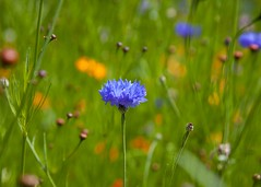 Gardens: Cornflowers (Adam Swaine) Tags: meadows londonmeadows englishmeadows flora flowers colours naturelovers nature summer gardens england english seasons cornfield centaureacyanus