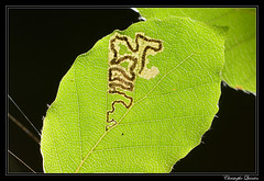Mine de Stigmella tityrella sur Fagus sylvatica (cquintin) Tags: arthropoda lepidoptera nepticulidae stigmella tityrella fagus sylvatica mine