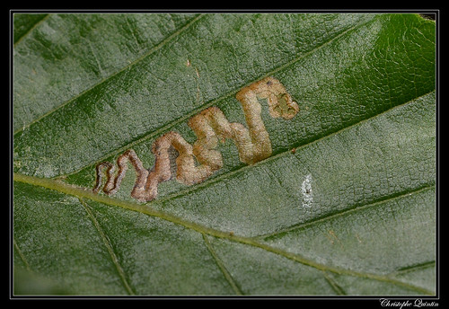 Mine de Stigmella tityrella sur Fagus sylvatica
