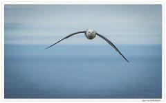 En vol : Le Fulmar boréal. Droit devant ! (C. OTTIE et J-Y KERMORVANT) Tags: nature oiseaux fulmarboréal fjordsdelouest islande