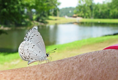 Summer azure in the mountains (Vicki's Nature) Tags: summerazure small white gray spots butterfly arm pink watch lake water trees reflections bokeh dof fannincounty georgia pond vickisnature canon s5 2732 celastrinaneglecta