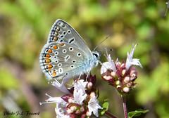 Azuré bleu céleste (jean-lucfoucret) Tags: closeup d500 nikkor macro macrophotographie lépidoptère papillon azuré bleu celéste nature jardin insecte
