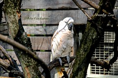 WHITE COCKATOO ( Parrot ) (guylafortune) Tags: blanc cacatoès perroquet exotique oiseau parrot white bird exotic cockatoo tree arbre