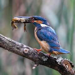 Alcedo atthis (Oliveira Pires) Tags: alcedoatthis guardarios picapeixe martinhopescador commonkingfisher martinpescador birdwatcher