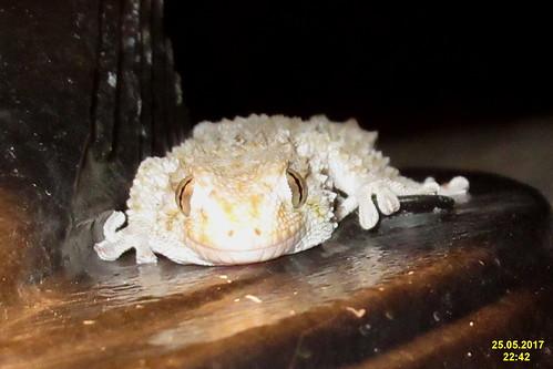 Gecko (KamVol)