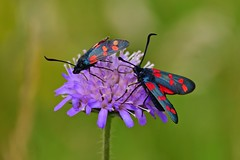 Kleewidderchen (Zygaena trifolii) (Wolfgang's digital photography) Tags: schmetterling widderchen kleewidderchen natur bunt warnfarben fühler nikond5300