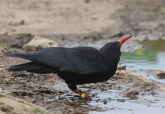 chough Bran goesgoch (alunwilliams155) Tags: brangoesgoch bird southstack pyrrhocoraxpyrrhocorax chough