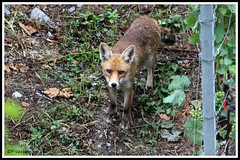 Renard 170727-02-P (paul.vetter) Tags: renard goupil vulpesvulpes mammifère canidé carnivore fox fuchs zorro volpe raposa