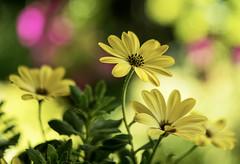 colors of the summer (Krzysztof Kozłowski) Tags: colors garden flowers nature plant olympus pancolar africandaisy
