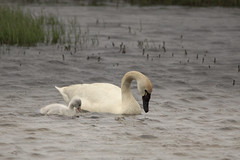 Eating with Mom (blkwolf1017) Tags: tundraswan cygnet pond prudhoebay alaska canon50d sigma150500mm