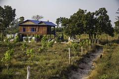 Young mango trees (Keith Kelly) Tags: anlongklong asia cambodge cambodia kh kampuchea keithkelly krakor mangotrees orchard pursatprovince southeastasia country countryside farmland field grove keithakelly plants rural trees pouthisat