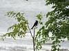 Drongo (Greencraftingkid) Tags: birding butterflies naturewalk familytime himayatsagar