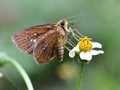 Chestnut Bob (Amber Habib) Tags: chestnutbob iambrixsalsala skipper hesperidae india bangalore bengaluru iisc indianinstituteofscience nikon d5100 tamronsp90 macro
