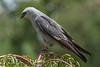 IMG_5830 (DavidMC92) Tags: canon eos 7d tamron sp 70300mm mississippi kite oklahoma city will rogers park bird prey