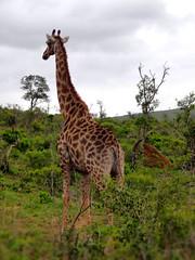 Thoughtful giraffe (Travel.diaries) Tags: giraffe girafe southafrica africa hluhluwe umfolozi kwazulunatal kwazulu natal reserve naturalreserve
