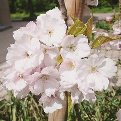 IMG_20160419_144743 (Kirayuzu) Tags: frühling spring wien vienna liesing pflanzen plants blüten blossoms baum tree instagram