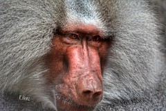 Höchste Wachsamkeit (rollirob) Tags: paviane affen ape afrika nikon7100